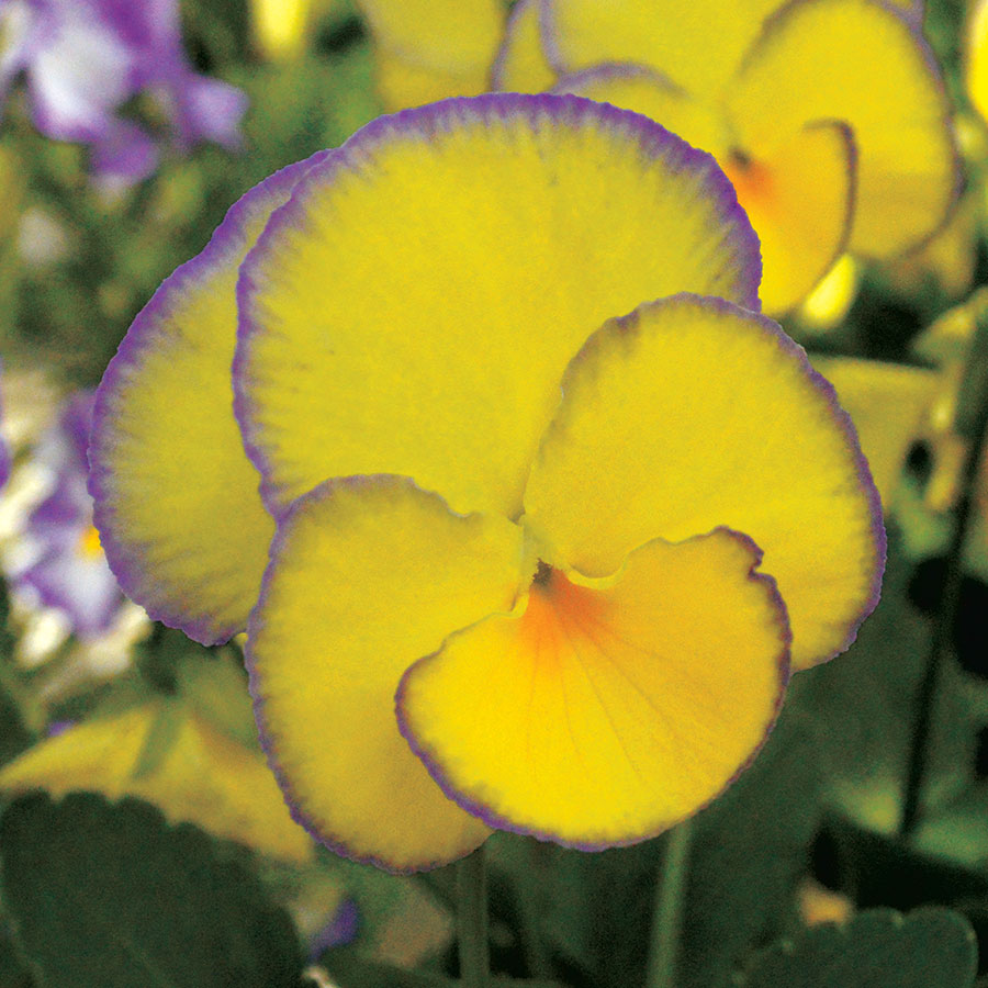 Viola MAGNIFISCENT® 'Sweetheart' Image