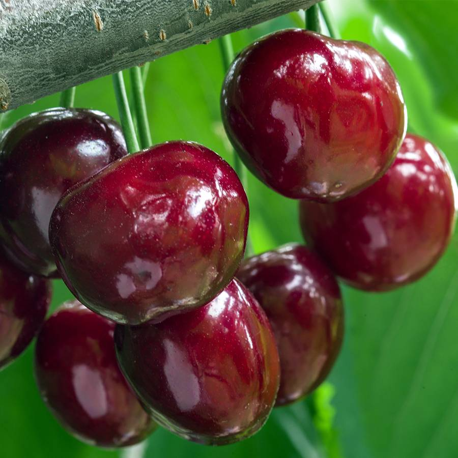 Cherry Compact Stella Image