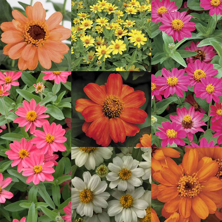 Single Flowered Zinnia Profusion Collection Image