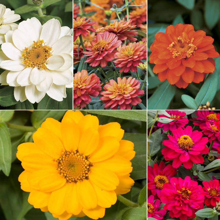 Profusion Double-Flowered Zinnia Collection Image