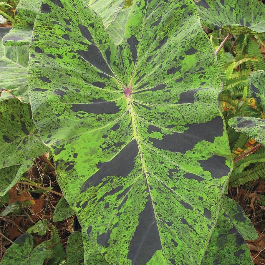 Colocasia 'Mojito' Image