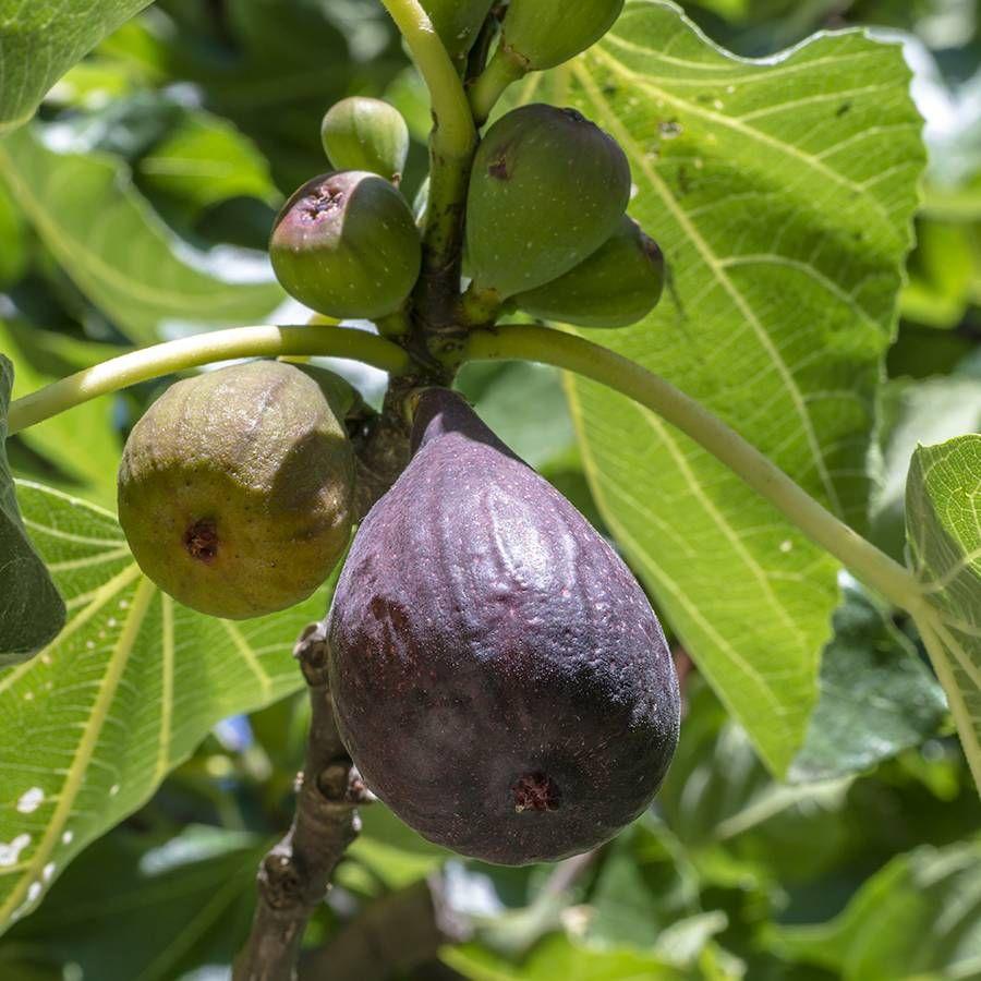 Fig Chicago Hardy Image
