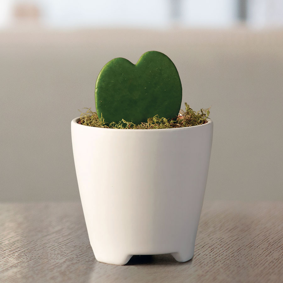 Hoya Heart Succulent Gift Image
