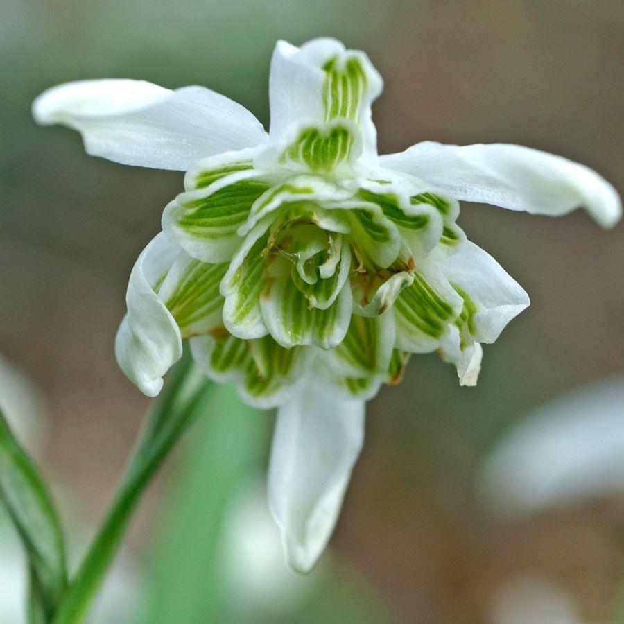 Galanthus 'Hippolyta' Image