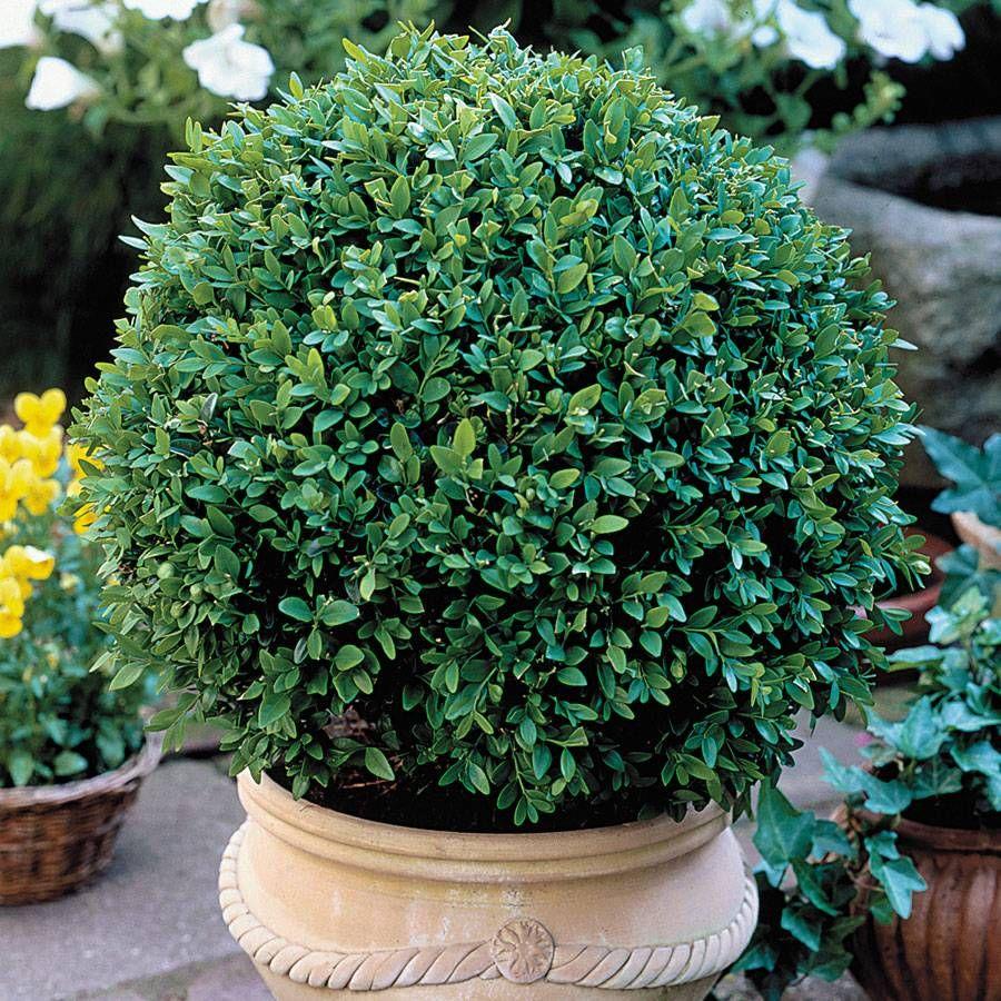 Green Velvet Boxwood Image