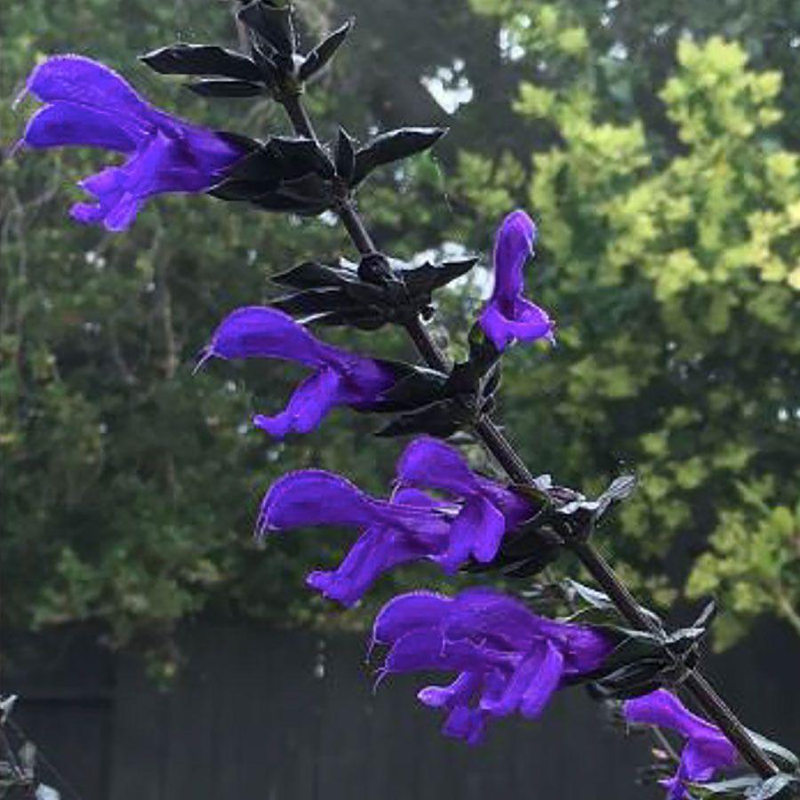 Salvia BODACIOUS® 'Rhythm & Blues' Image