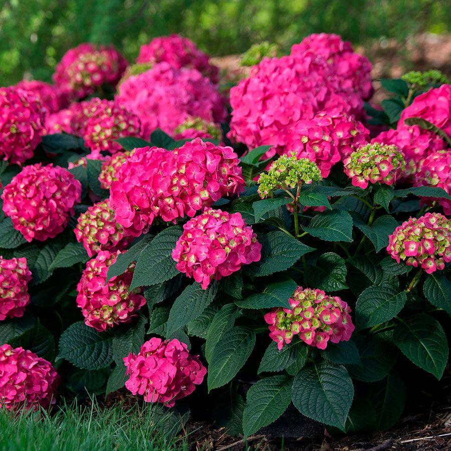 Hydrangea 'Bailmacfive' Endless Summer® Summer Crush® Image