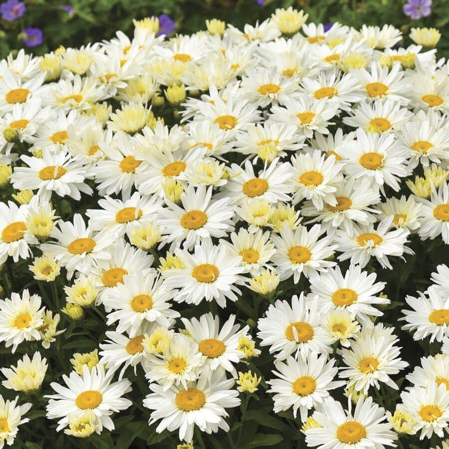 Leucanthemum 'Cream Puff' Image