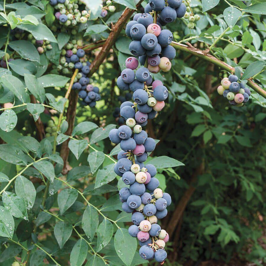 Vaccinium 'Elliott' Blueberry Image