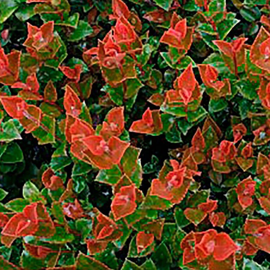 Vaccinium Scarlet Ovation™ Huckleberry Image