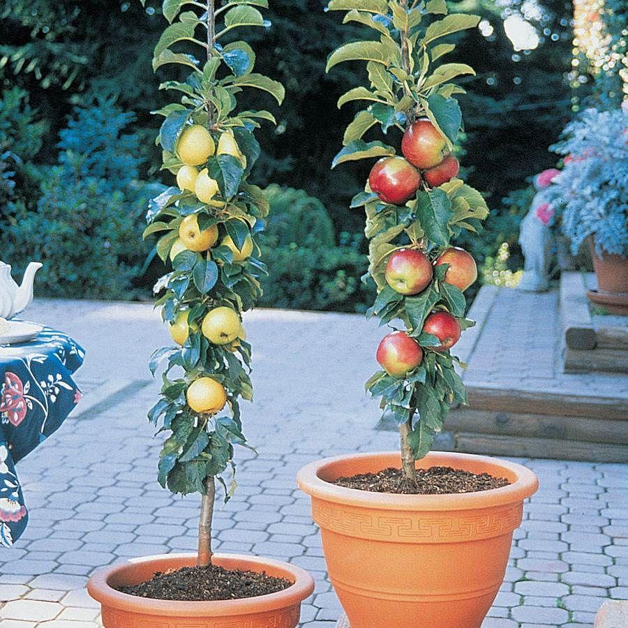 Patio Apple Sentinal™ Tree Kit Image