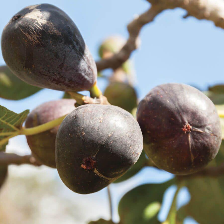 Ficus Neverella Fig Image
