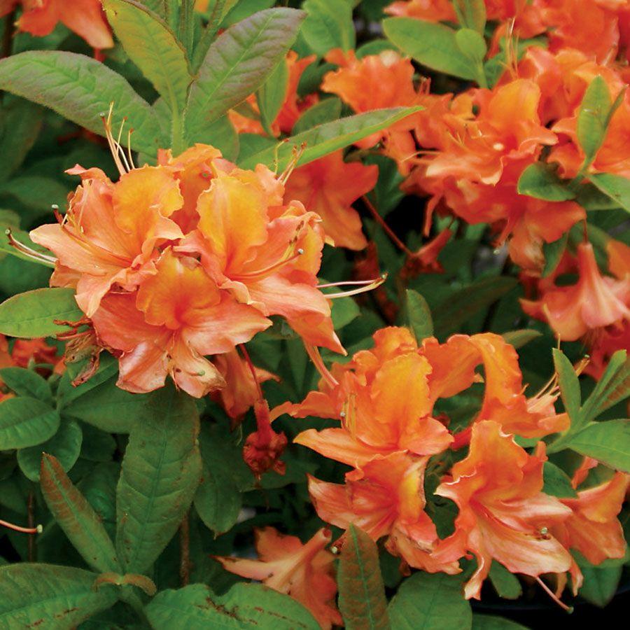 Azalea 'Mandarin Lights' Image