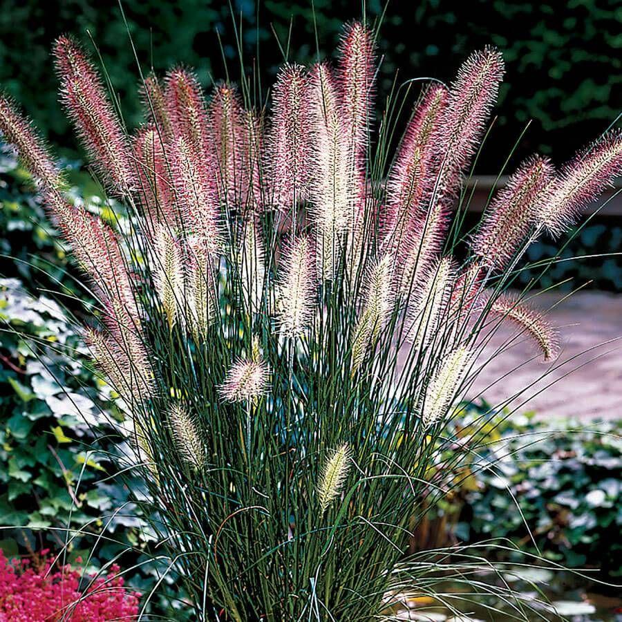 Pennisetum 'Hameln' Image