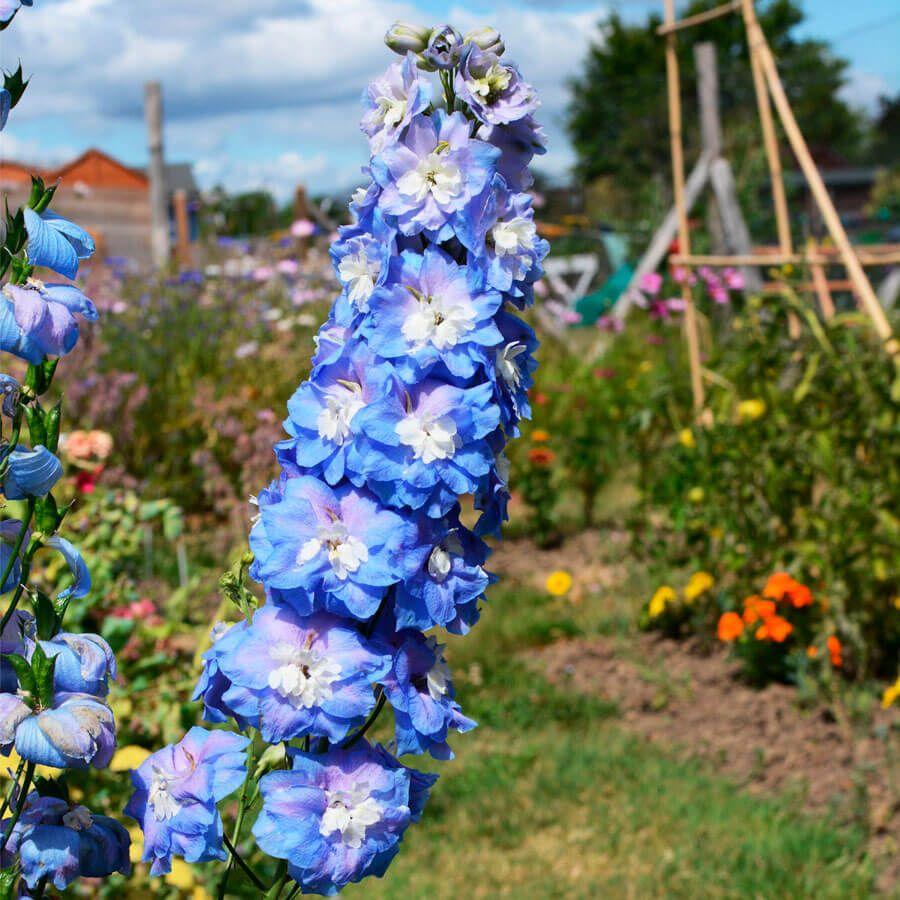 Delphinium Aurora™ Blue Image