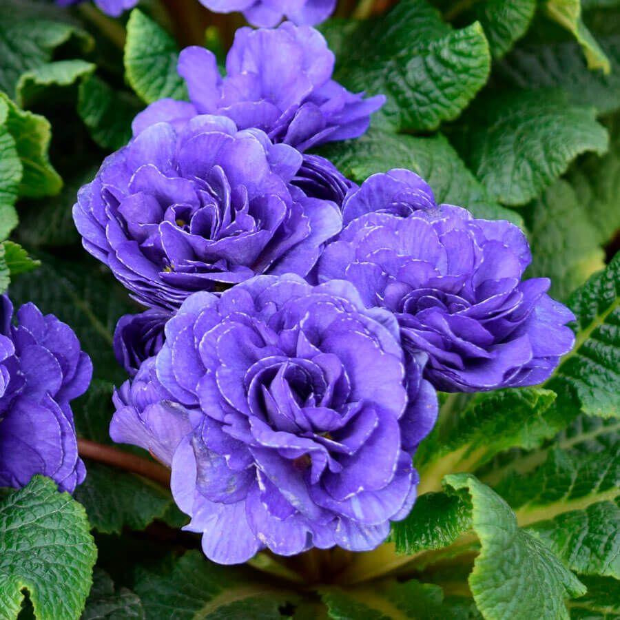 Primula PRIMA BELARINA® 'Blue Champion' Image