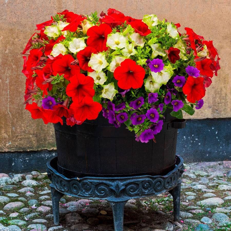 Park's Petites DuraBella® Red White & Blueberry™ Image