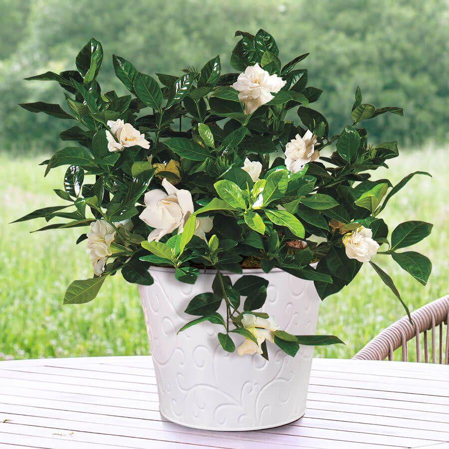 Gardenia Celebration Image