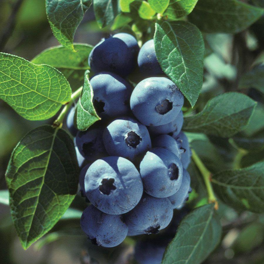 Vaccinium 'Chippewa' Blueberry Image