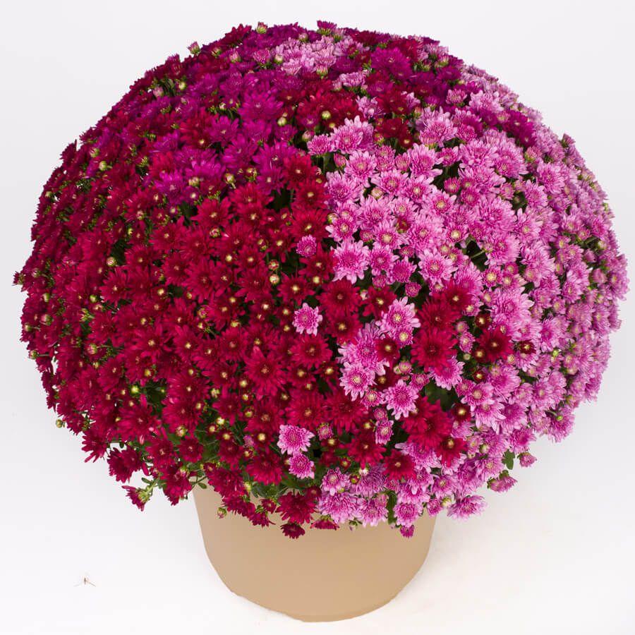 Blooming Block Wanda™ Fall Berry™ Color My Fall™ Mum Mix Image