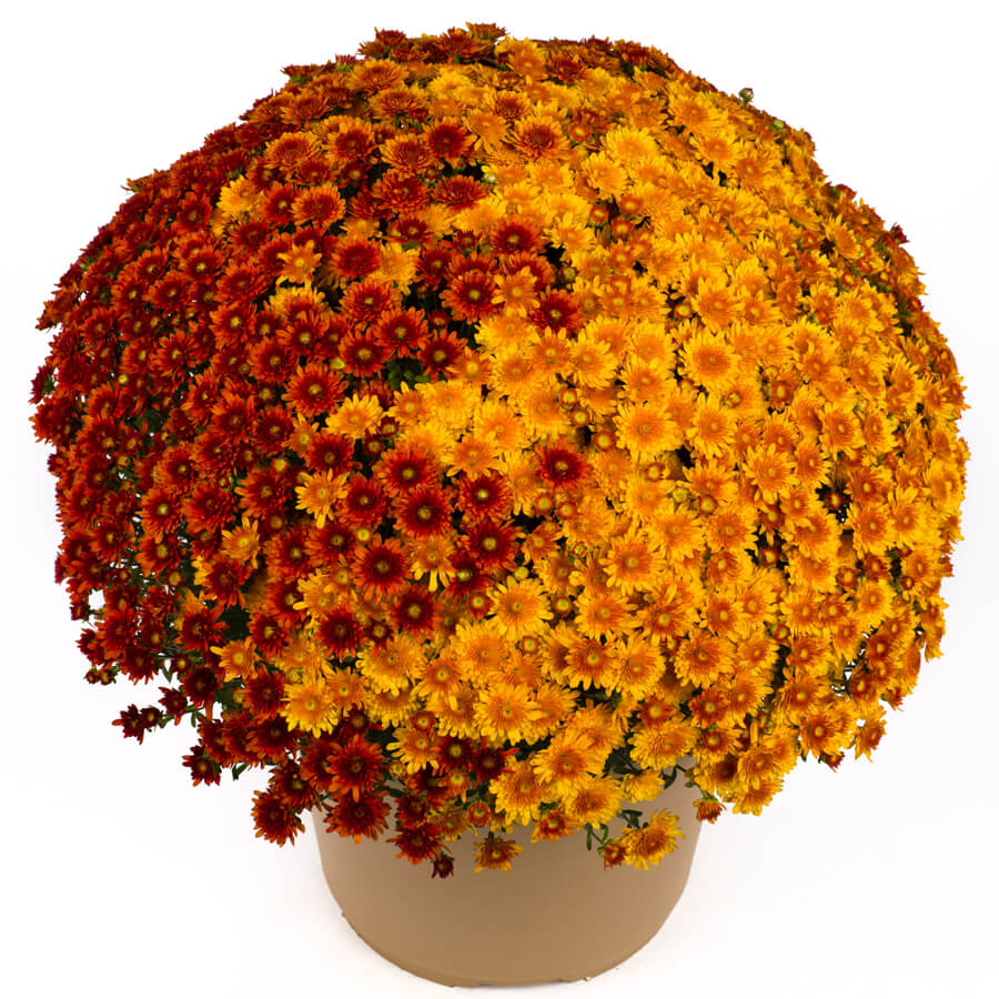 Blooming Block Beverly™ Copper Penny™ Color My Fall™ Mum Mix Image