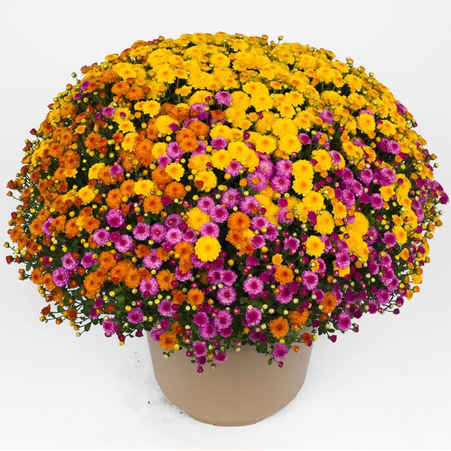 Blooming Block Gigi™ Acorn Lane™ Color My Fall™ Mum Mix Image