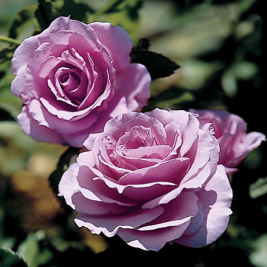 Garden Bush: Fragrant Lavender Simplicity® Hedge Rose From Park Seed