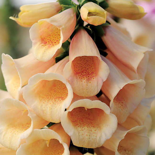 Dalmatian Peach Foxglove Image