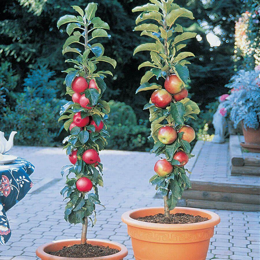 Patio Apple Northpole™ Tree Kit Image