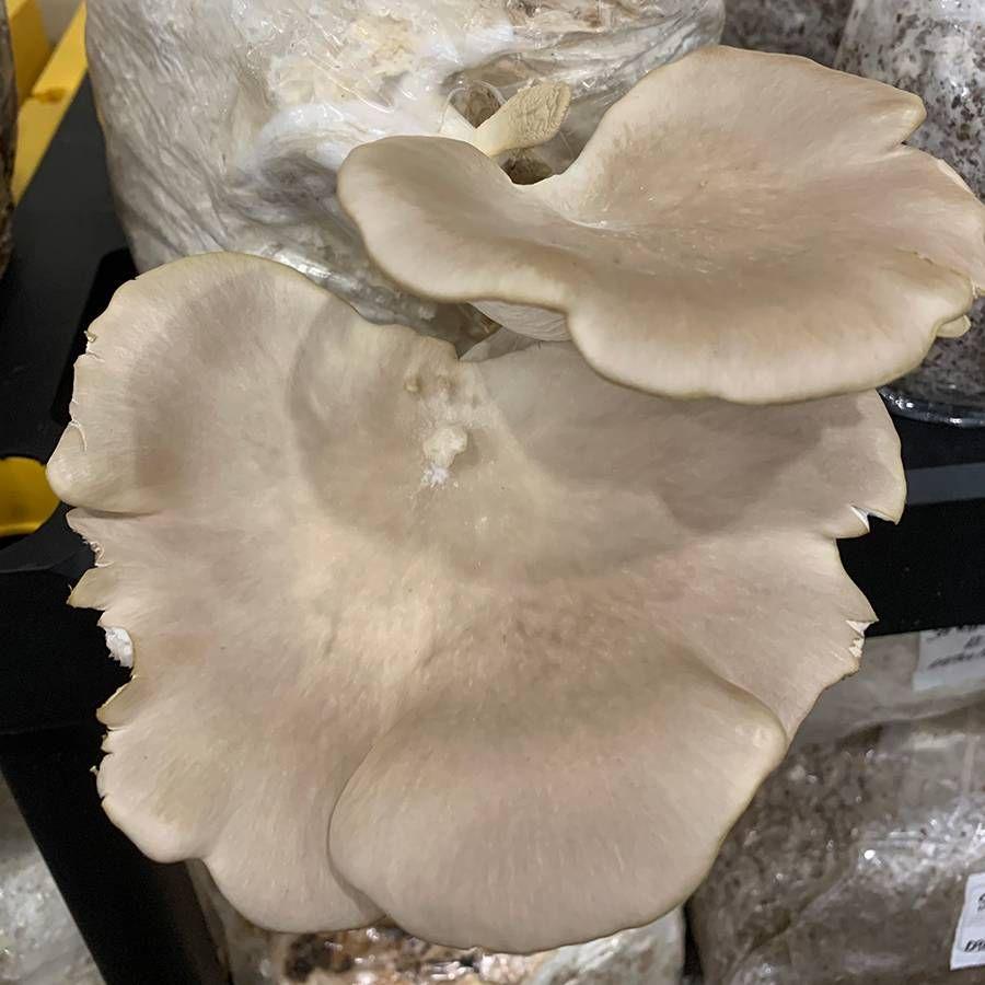 Mushroom Brown Oyster Log Spawn Plugs (100) Image