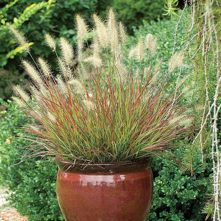 Burgundy Bunny Fountain Grass Image