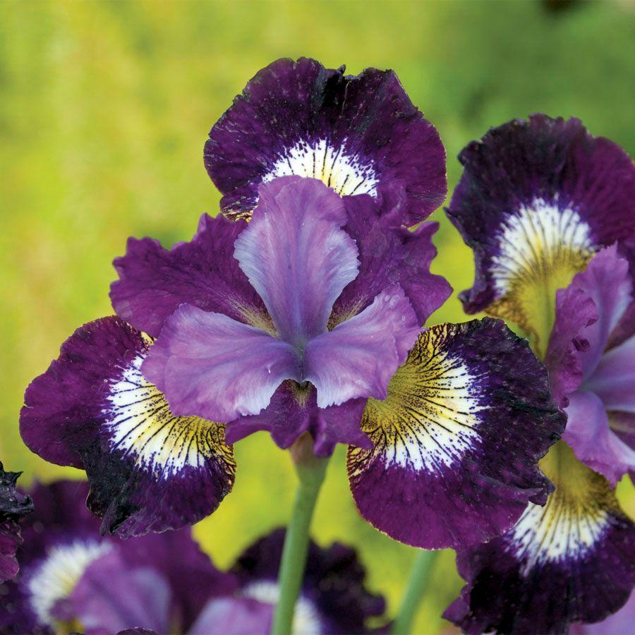Iris contrast in styles from park seed iris contrast in styles izmirmasajfo