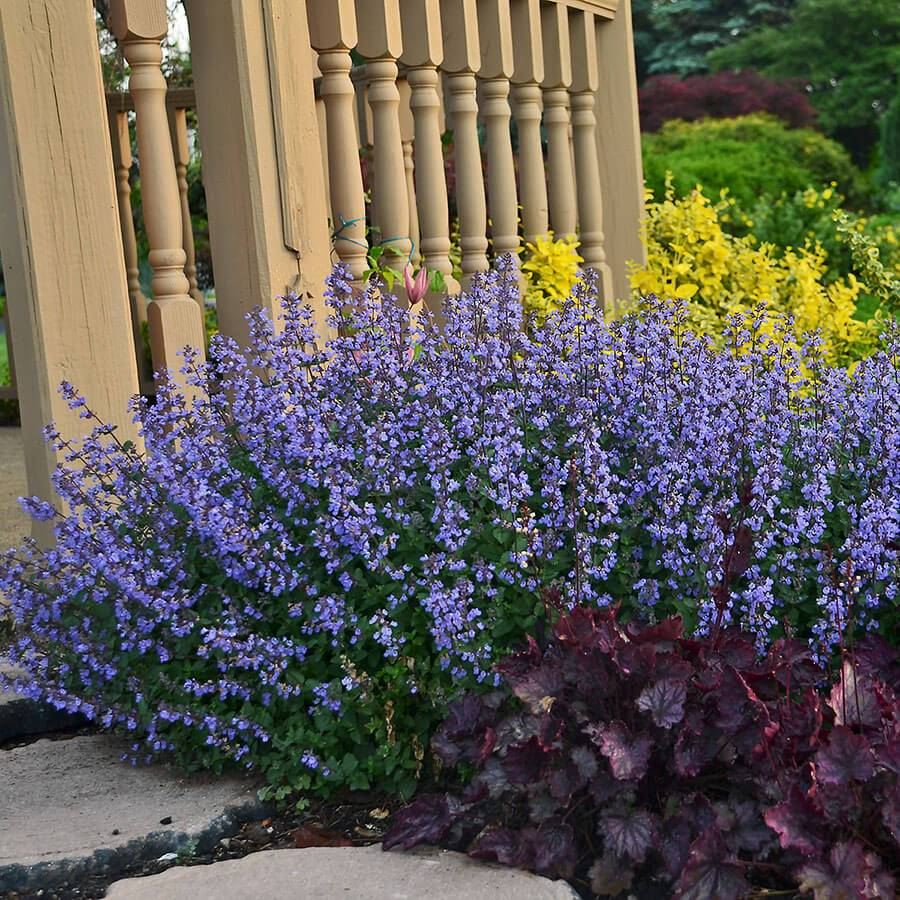 Purrsian Blue Catmint From Park Seed