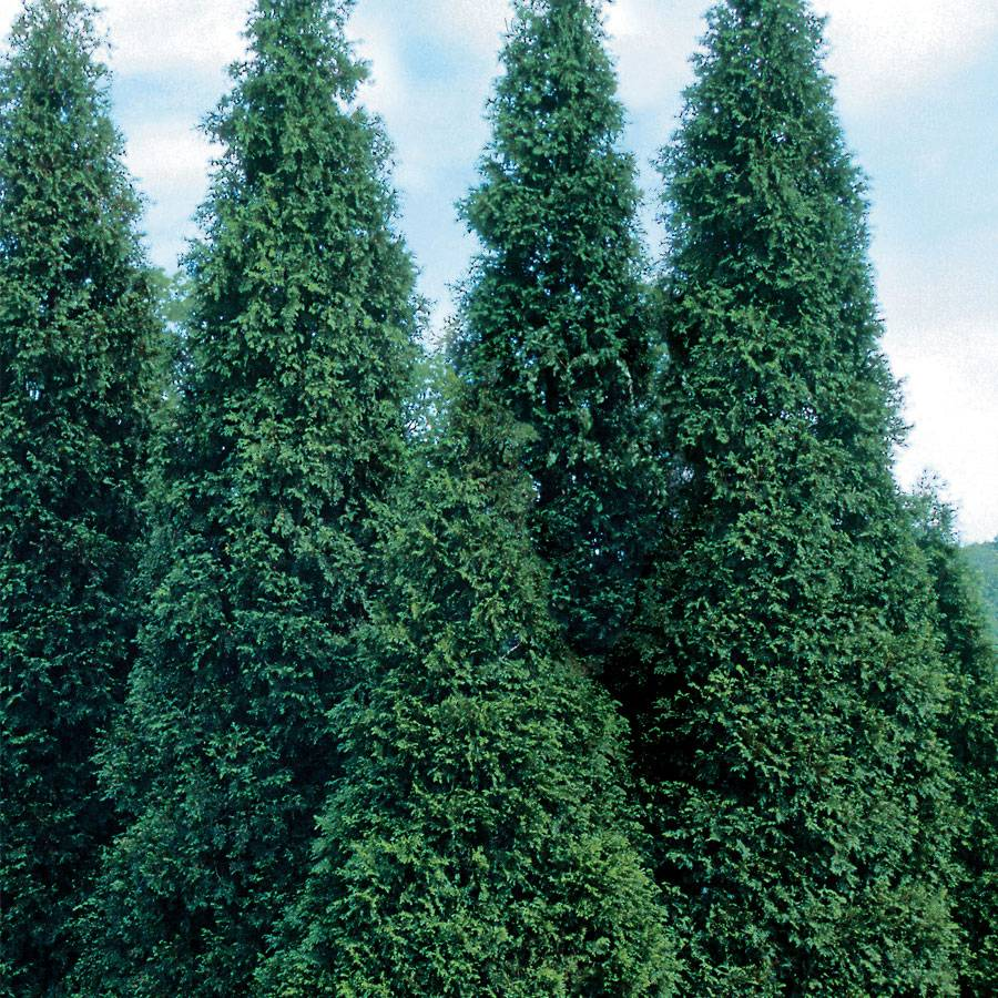 Green Giant Arborvitae From Park Seed