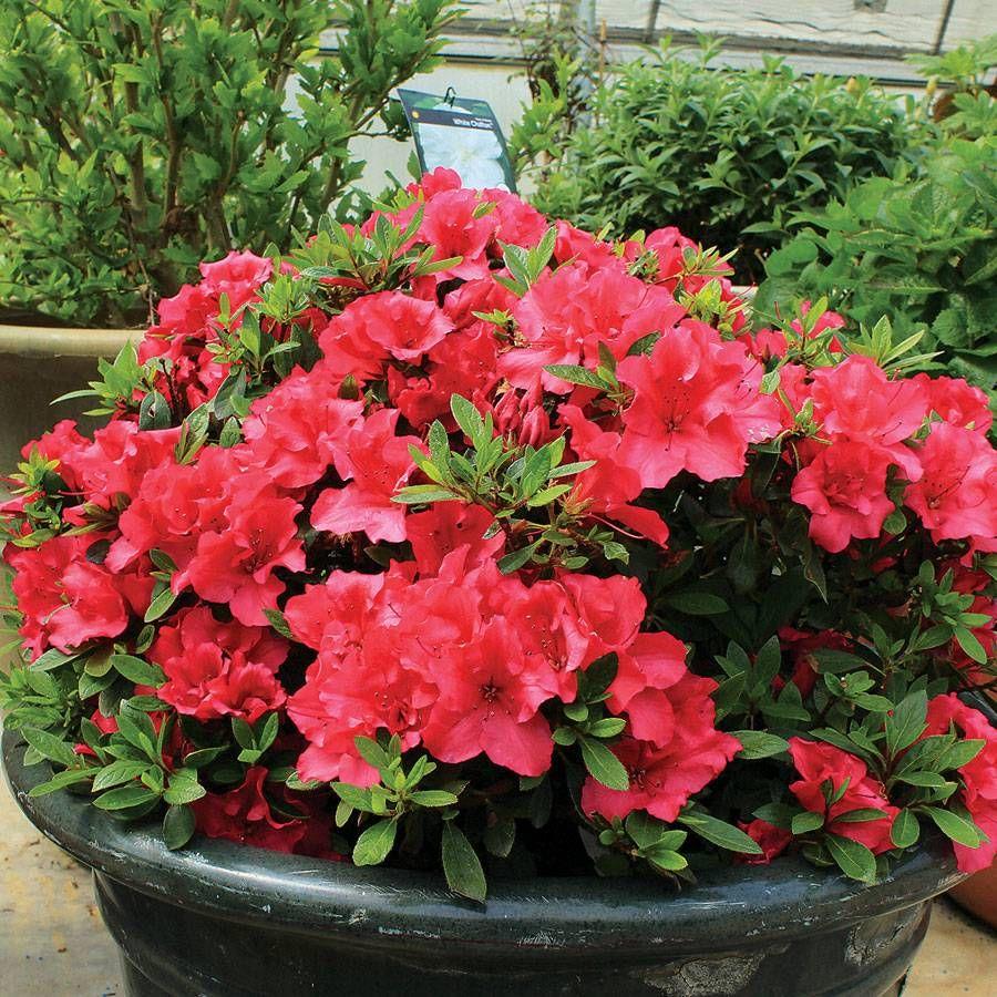 Azalea Bloom-a-Thon® Red Image