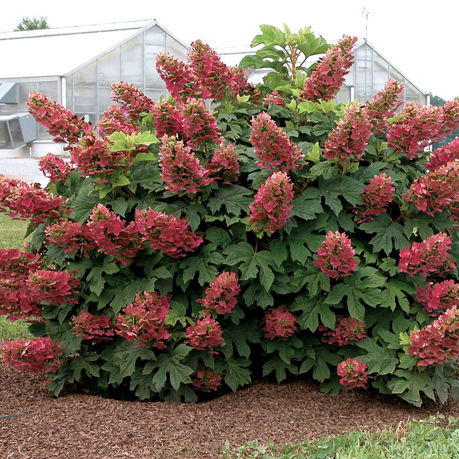 ruby slippers hydrangea from park seed. Black Bedroom Furniture Sets. Home Design Ideas