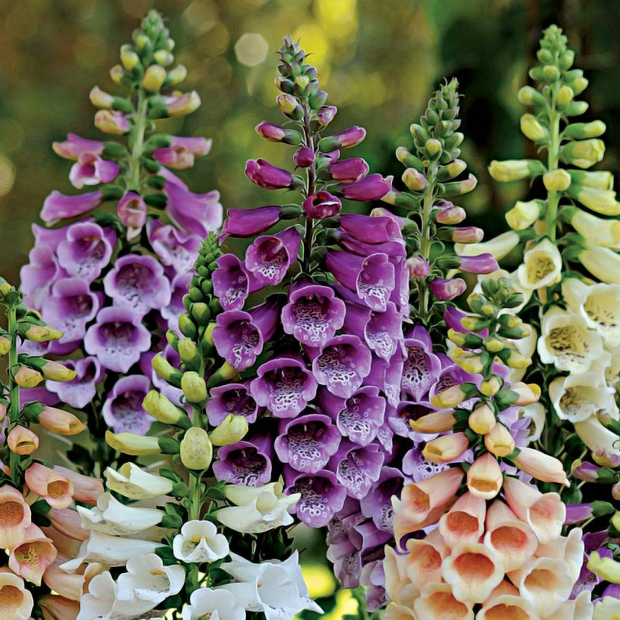 Dalmatian Purple Improved Foxglove From Park Seed