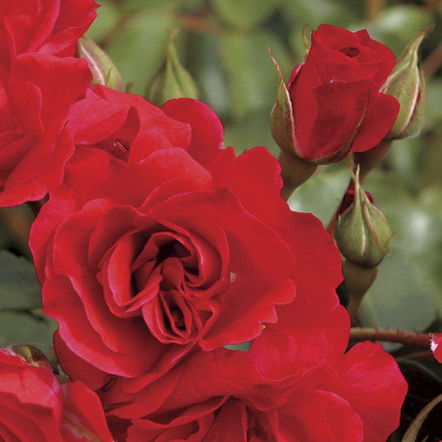 Crush on You Floribunda Rose Image