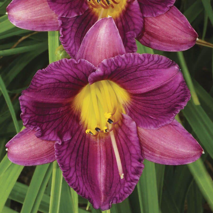 Hemerocallis 'Purple d'Oro' Image