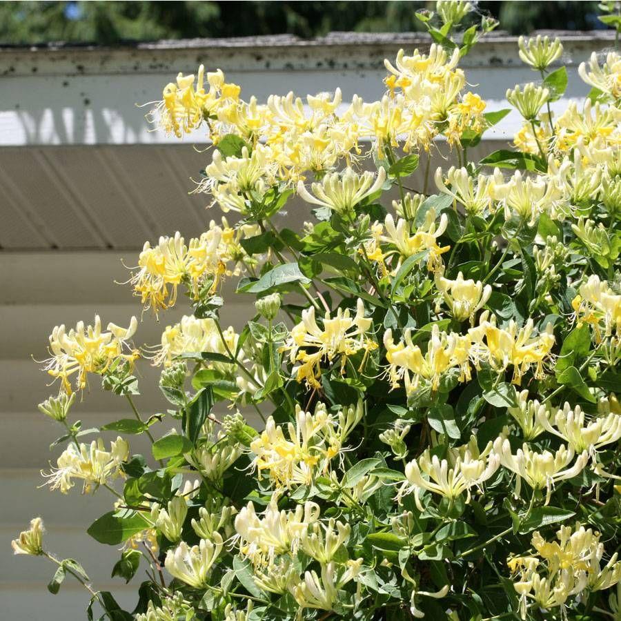 best climbing plant