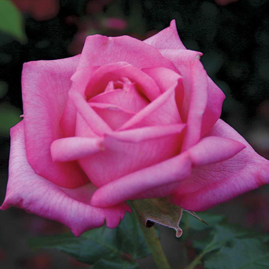 Wedding Bells Eleganza 174 Hybrid Tea Rose