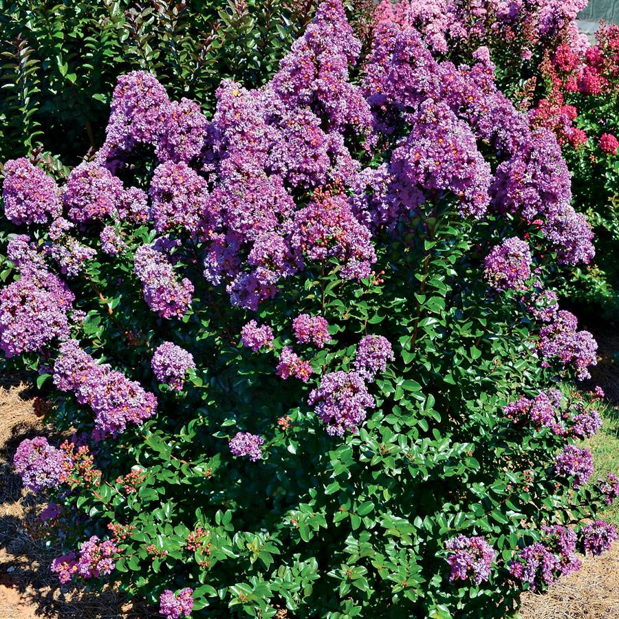Lagerstroemia Purple Magic™ Image