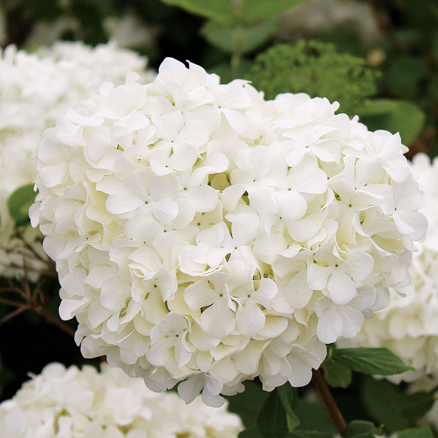 Chinese Snowball From Park Seed