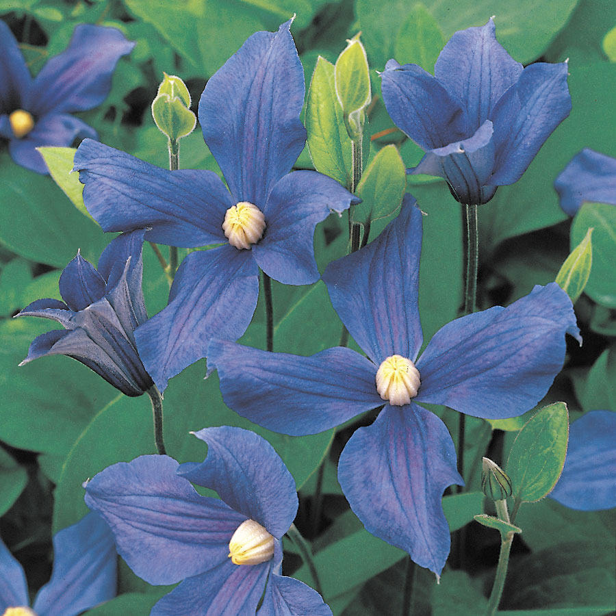 Durandii Clematis From Park Seed