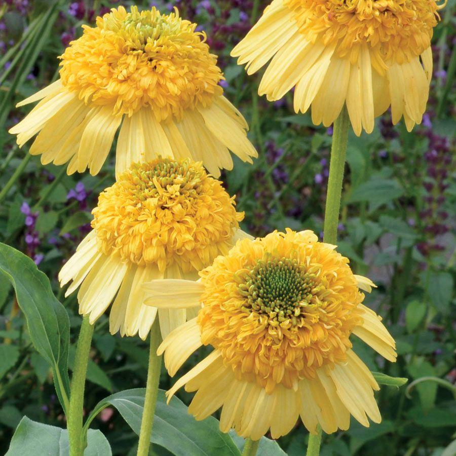 Echinacea Meteor Yellow