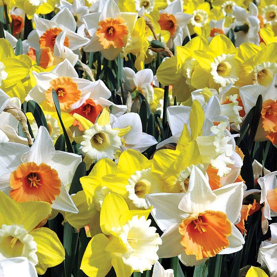 Narcissus Citrus Splash Mix Image