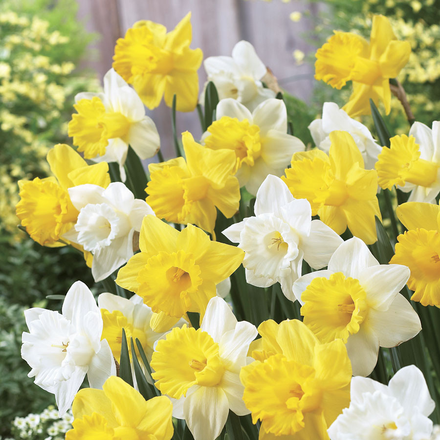 Narcissus Welcoming Trumpets Mix Image
