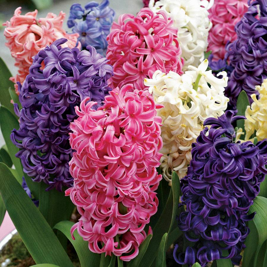 Pastel Perfection Hyacinth Mix- Pack of 10 Image