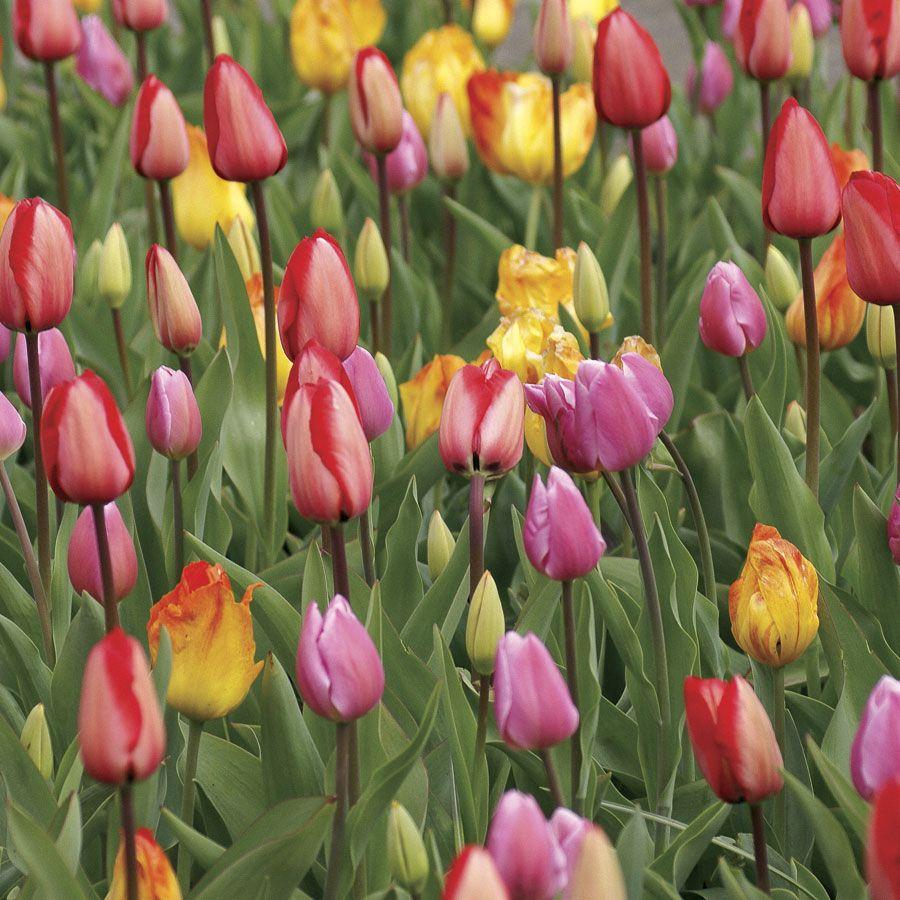 Tulip Marathon Mix Image