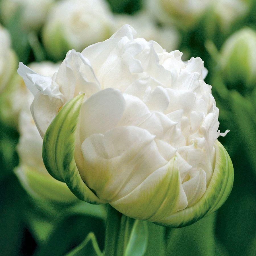 Tulip Ice Age Image